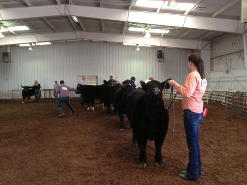 Students competing in Little International show in the cattle class. Photo by Addie Davis.