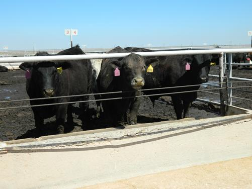 Steers line up to be fed the liquid feed. Photo by Ryan Schapp.
